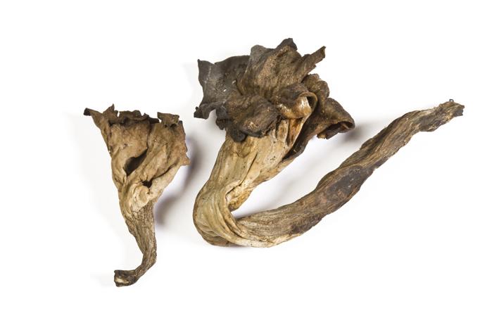 Chantharellus cornucopioides.Trompeta de los muertos